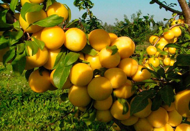 Выращивание в саду. Саженцы кустарников в Крыму